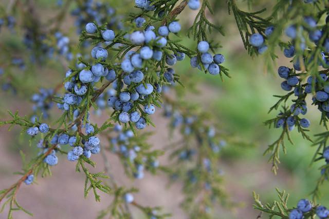 Juniperus; photo courtesy of Flickr cc/ Julie A Brown