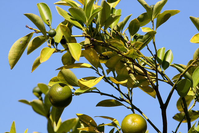 Citrus x aurantifolia; photo courtesy of Flickr cc/Mr.TinDC