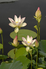 Photo of Nelumbo nucifera (sacred lotus) at NYBG; photo by Ivo Vermeulen