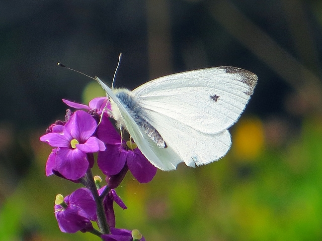 White cabbage butterfly; photo courtesy of Flickr cc/Becks