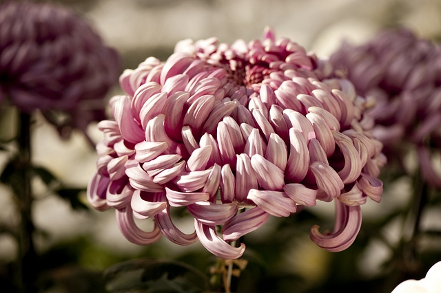 Irregular Incurve Chrysanthemum; Photo by Ivo Vermeulen