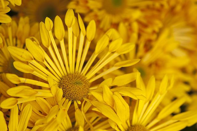 Chrysanthemum 'Trendy Time'; photo by Ivo M. Vermeulen