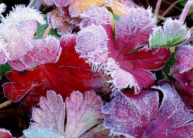 Hardy geranium; photo courtesy of Flickr cc/ Lida