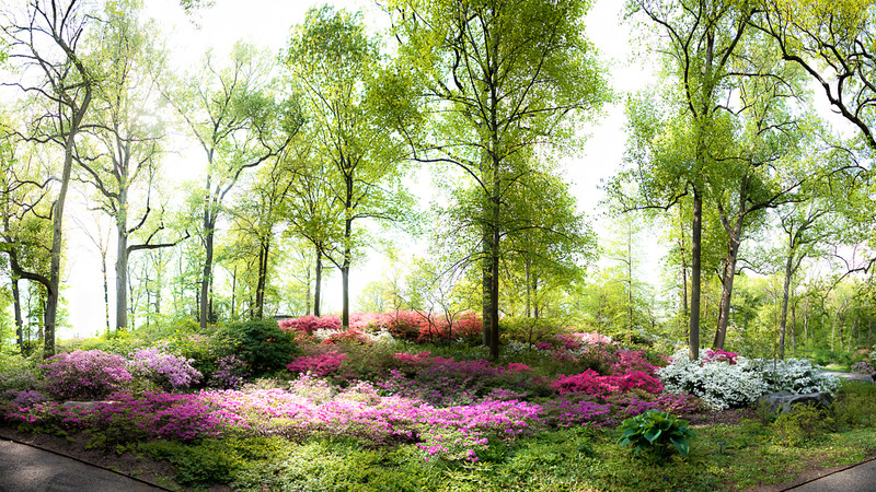 A section of the Azalea garden in the woods at NYBG
