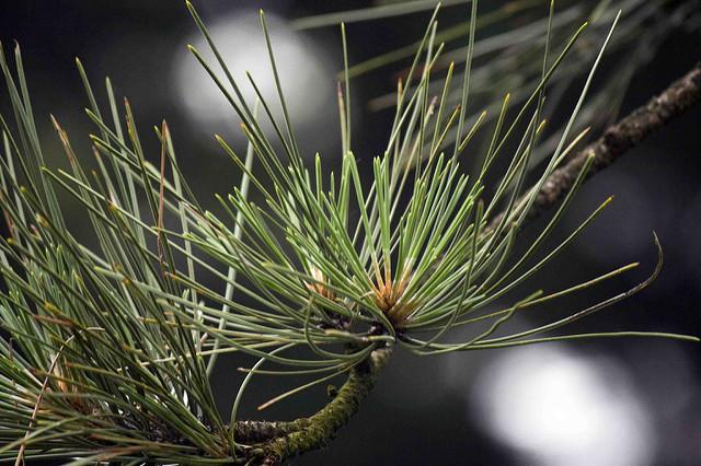 Pinus ponderosa; photo by Michelle Longo