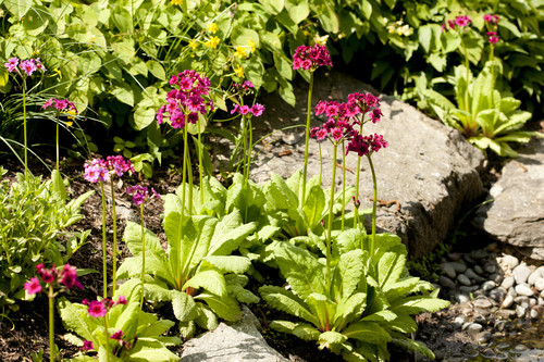Primula japonica in the Rock Garden at NYBG; photo by Ivo Vermeulen