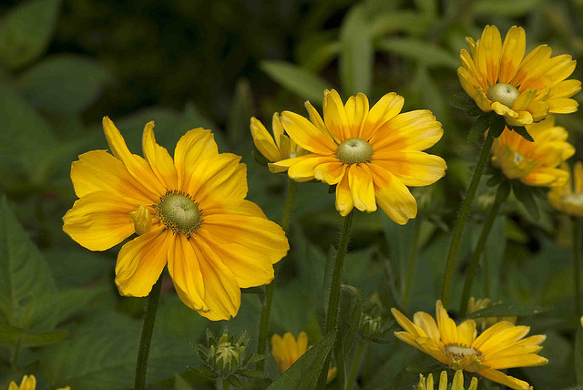 Rudbeckia hirta 'Prairie Sun'; Photo by Ivo Vermeulen