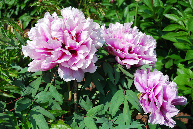 Paeonia suffruticosa; photo courtesy of Flickr cc/Ting Chen