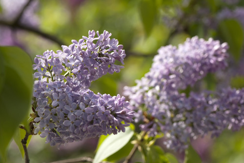 Syringa vulgaris 'Bleuatre' in flower at NYBG; photo by Ivo Vermeulen