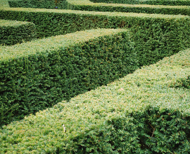 Taxus hedge; photo courtesy of Flickr cc/Kevin Gessner
