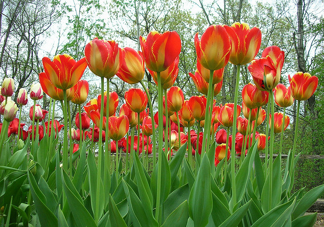 Tulips; photo Courtesy of Flickr cc/Alan Light