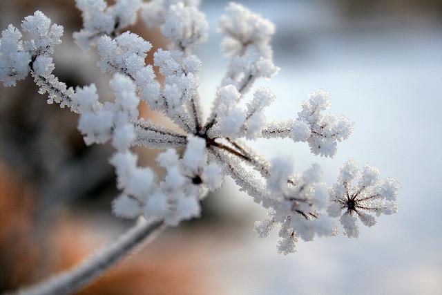 Apiaceae; photo courtesy of Flickr cc/Grace Smith