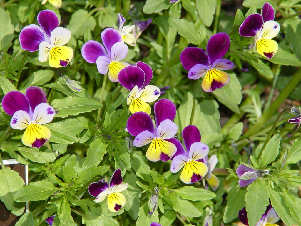 Viola tricolor at NYBG