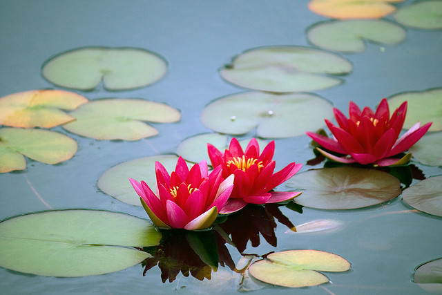 Photo of deep pink Nymphaea 'Gloriosa' at NYBG; photo by Michelle Longo