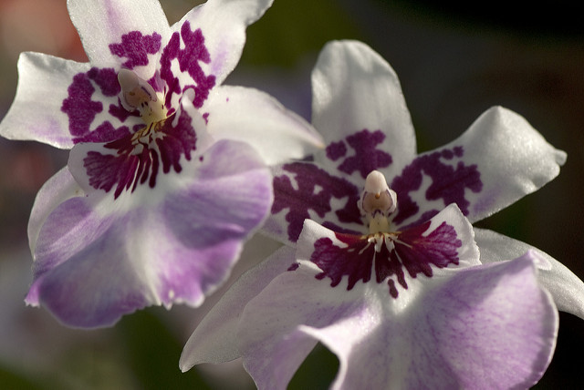 x Beallara Purple Haze 'Jimi Hendrix' at NYBG; photo by Ivo M. Vermeulen