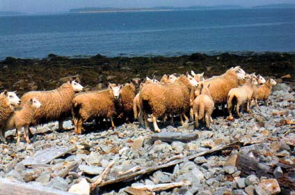 Sheep, Gull Island, Wedge Port