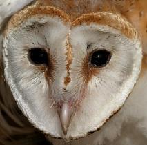 Owl, Barn Owl Project