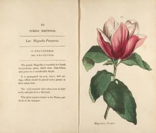 Purple Magnolia. Henrietta Maria Moriarty. Page 41.