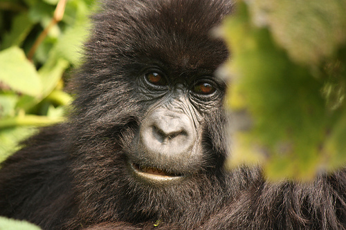 Mountain Gorilla by Lukas Vermeer on flickr