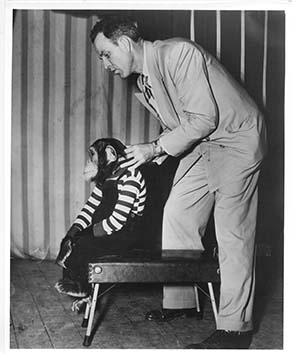 Man Adjusting a Chimpanzee