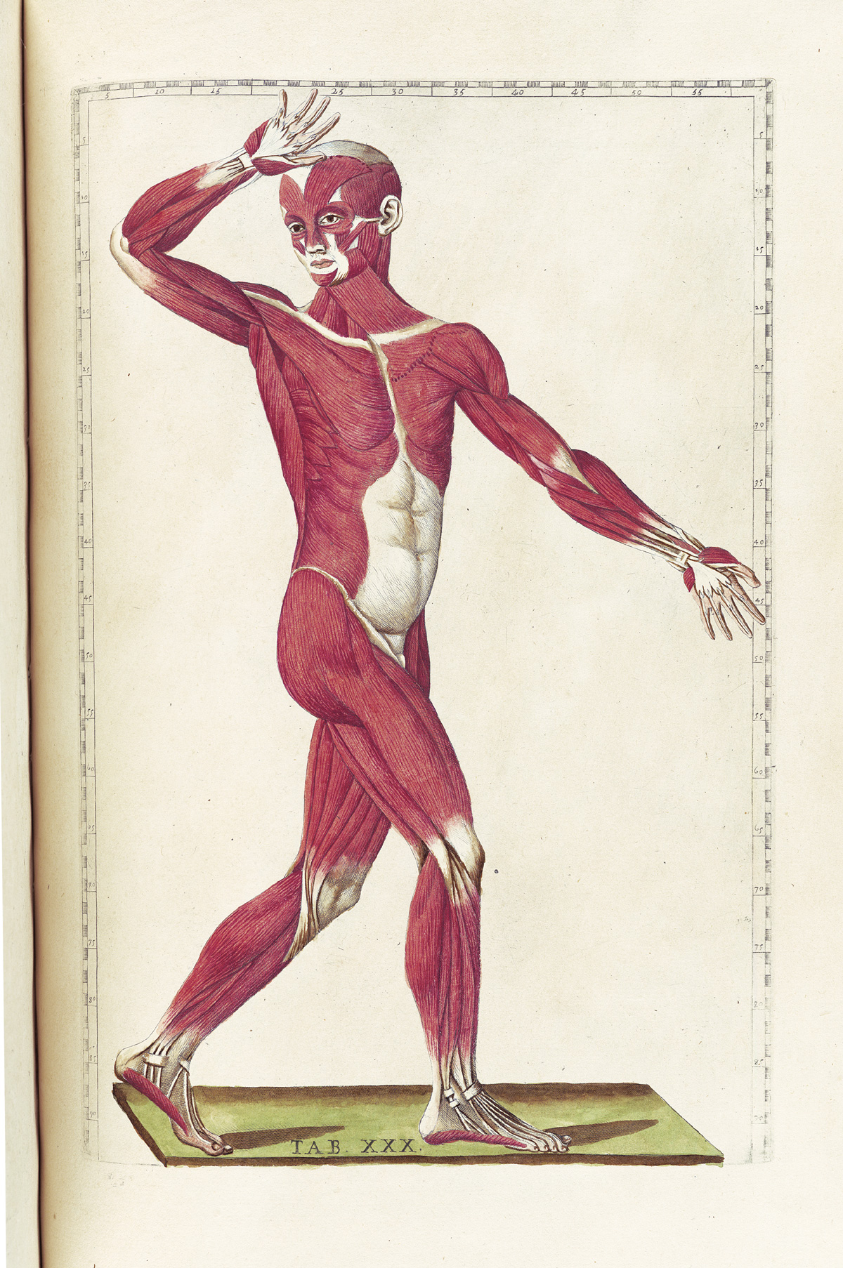 historical anatomical drawing