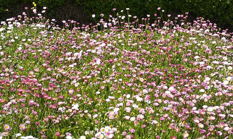 field of small, pink flowers