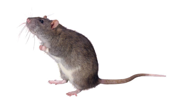 Image of a rat