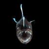 Deep Sea ID - a field guide interface to the World Register of Deep-Sea Species (WoRDSS)