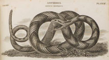 Engraving of Snake