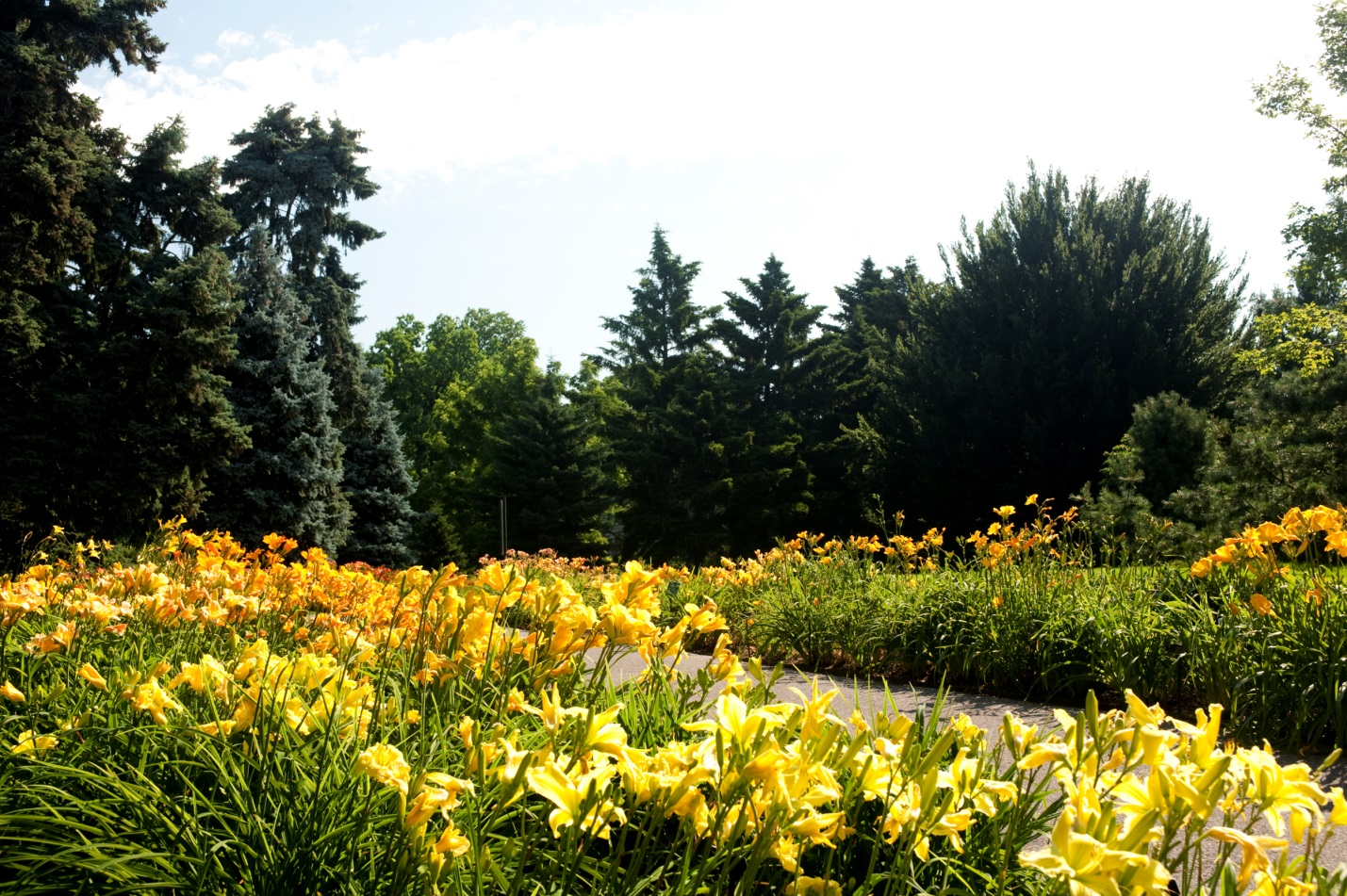 Yellow and orange daylilies alongside path with trees beyond
