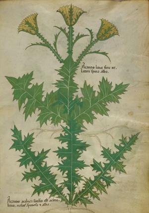 Spina alba [White thistle] from Tractatus de Herbis. Barcelona, España: M. Moleiro Editor, [2011]
