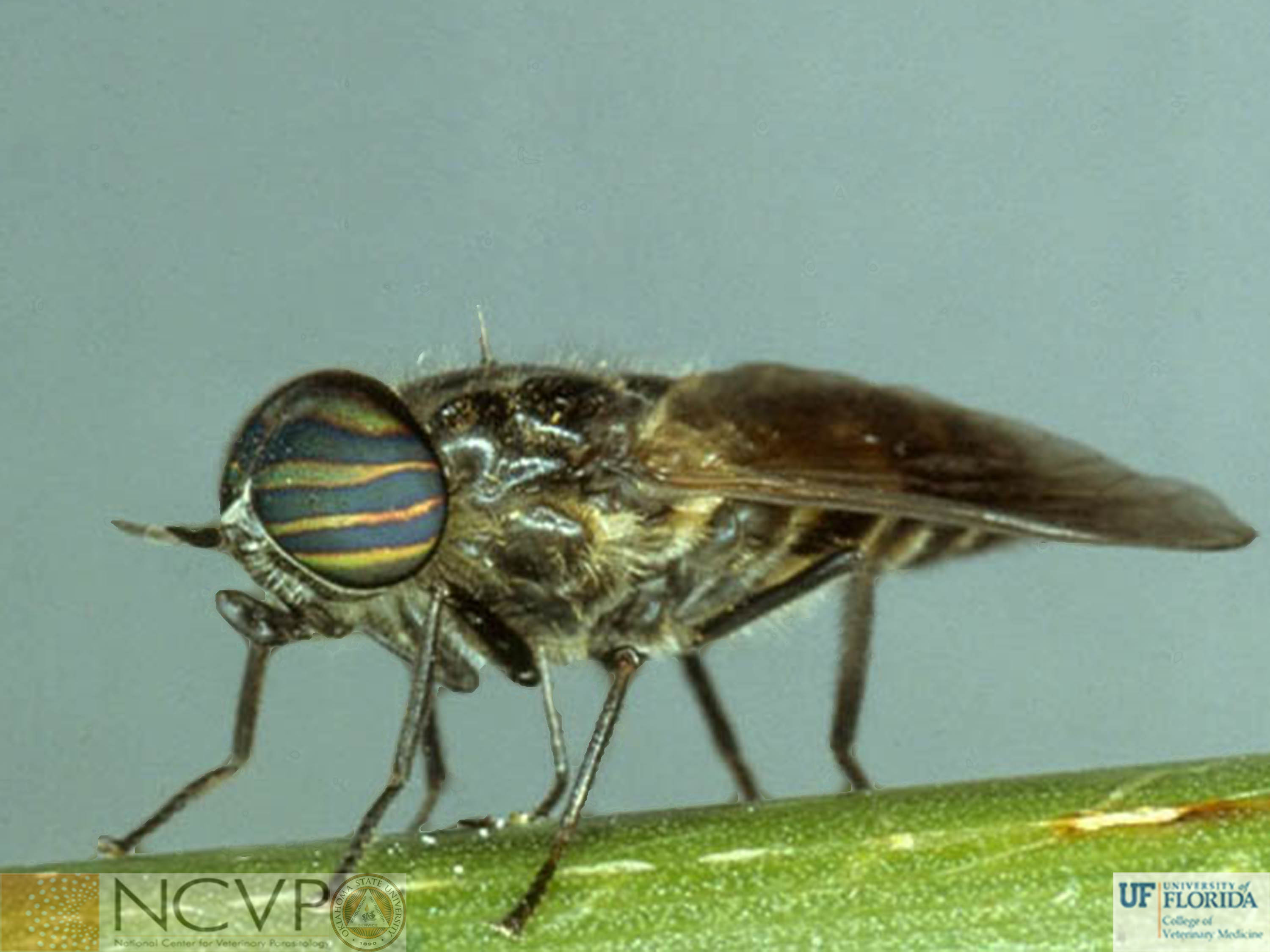 Hybomitra; horse fly; fly; equine; integumentary