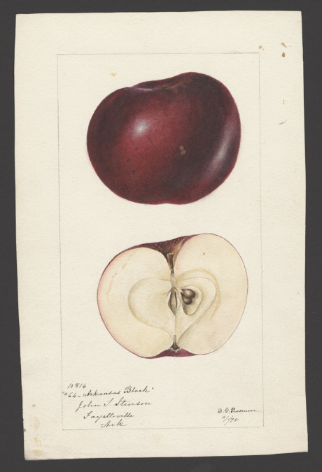 "watercolor image of an Arkansas Black apple, from the NAL watercolor collection, by Deborah G. Passmore. ""U.S. Department of Agriculture Pomological Watercolor Collection. Rare and Special Collections, National Agricultural Library, Beltsville, MD 20705"""