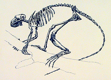 Drawing of a primate skeleton