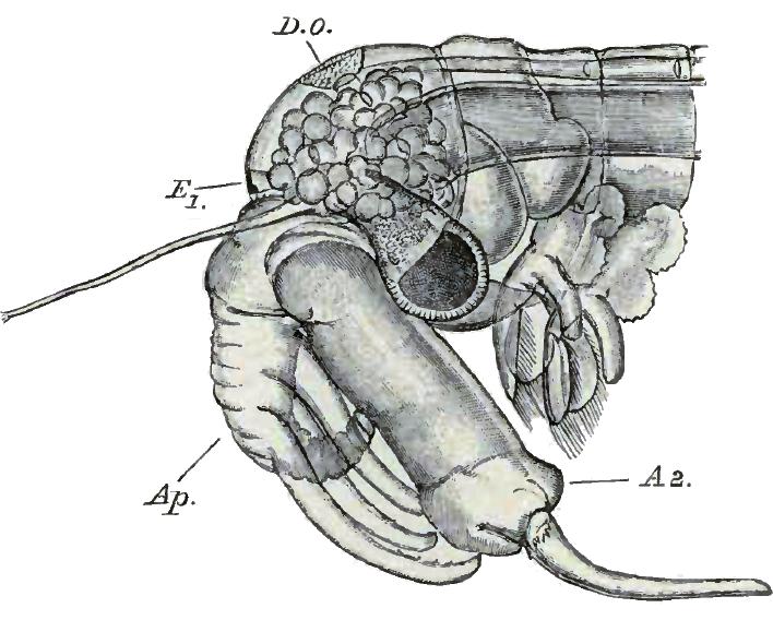 diagram of a male chirocephalus diaphanus