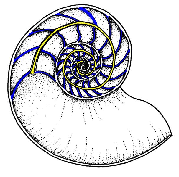 Nautiloid Shell