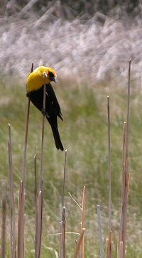 Black and yellow bird sitting on tall dried grasses.