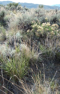 Wild rangeland vegetation, including sagebrush.
