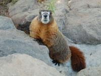 Image of a marmot