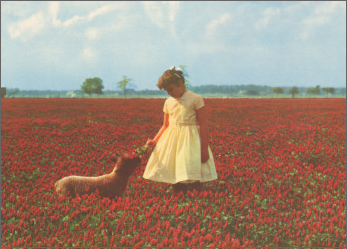 Young girl in white dress standing in field of red flowers, feeding a sheep.