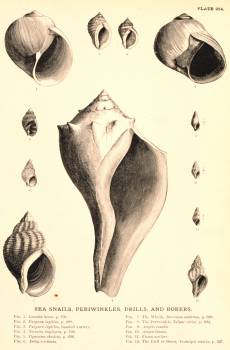 Sea Snails, Periwinkles, Drills, and Borers