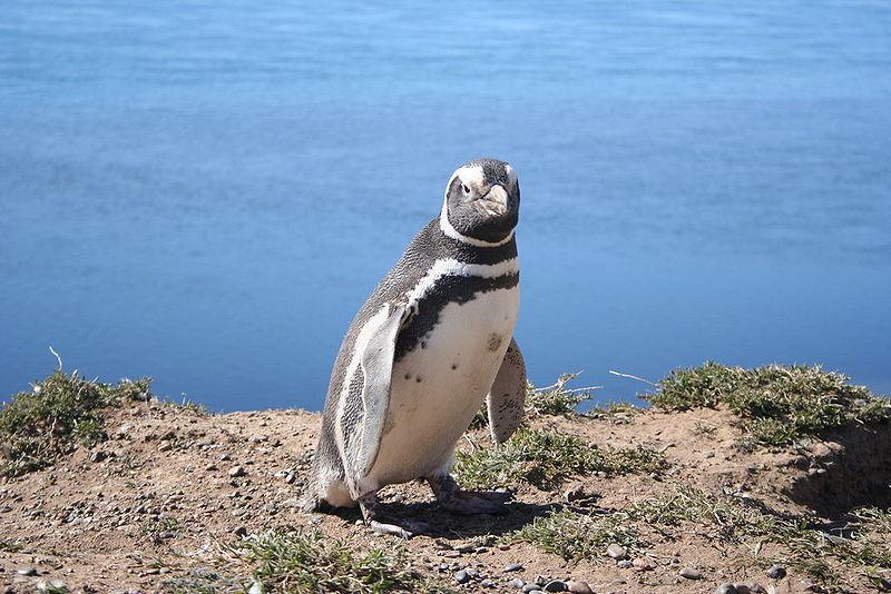 Megellanic Penguin