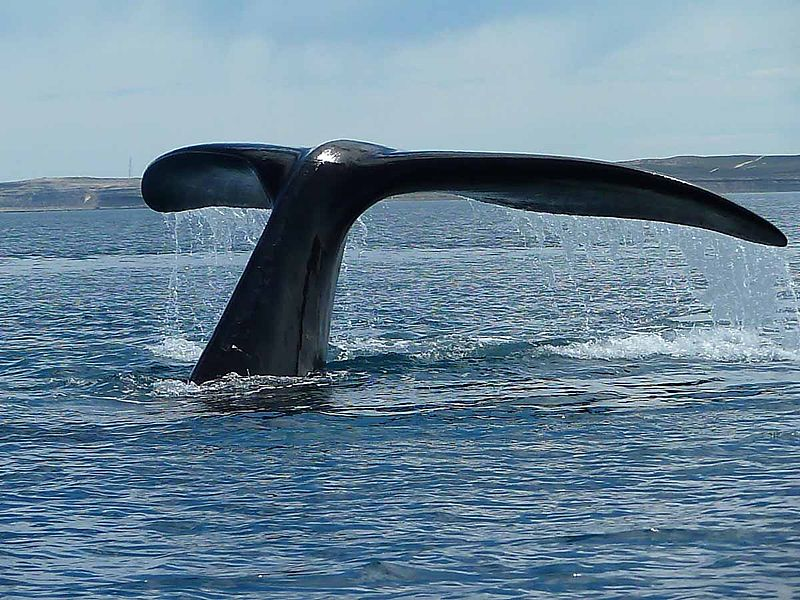 The Tail of a Right Whale off the Coast of Patagonia