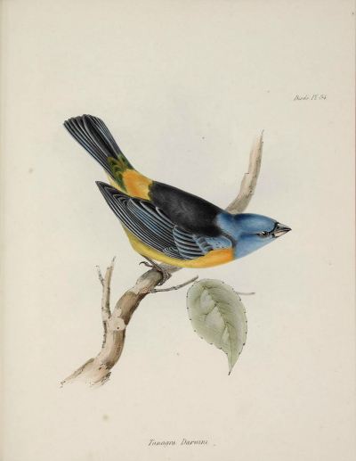 Digitised image of a plate from The Zoology of the voyage of H.M.S. Beagle