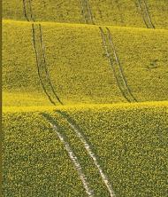Fields of rap seed being grown for biofuel