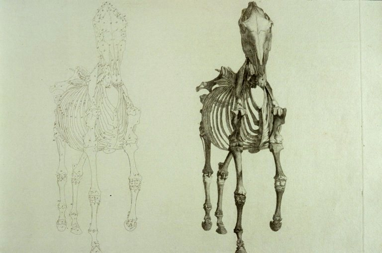 Image of page from Stubb's Anatomy of a horse.