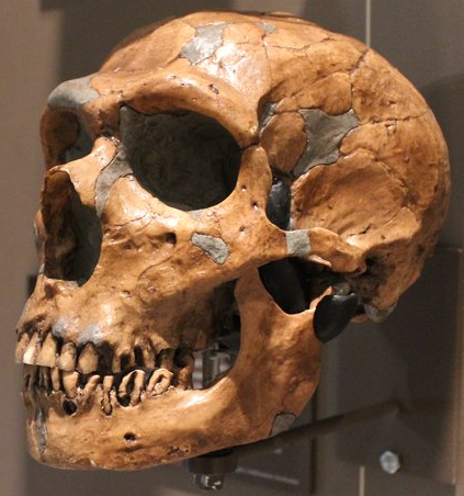 Photo of a neanderthal skull
