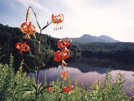 tiger lilies near water and mountains