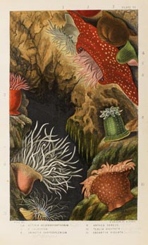 colured illustration of sea anemone